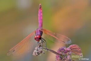 Gli insetti del Parco Nord: odonati e lepidotteri
